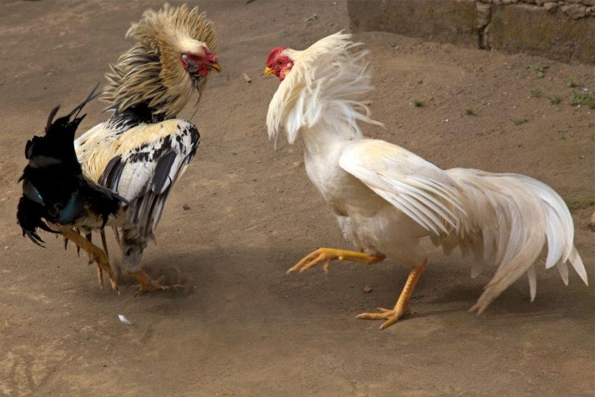 Memanage Uang Dalam Judi Sabung Ayam