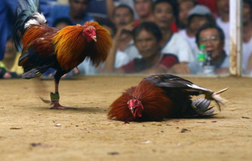 Bekal Untuk Bermain Judi Sabung Ayam Online